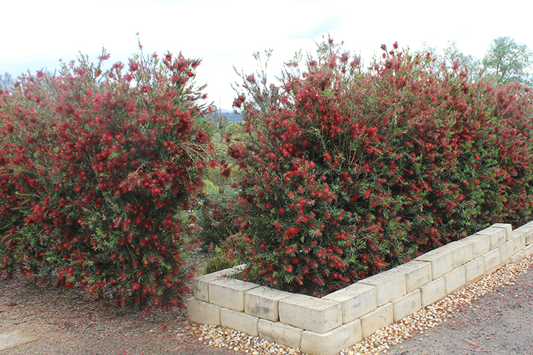 Slim callistemon narrow hedge for Skinny trees for tight spaces